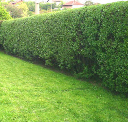 Hedge After Trimming